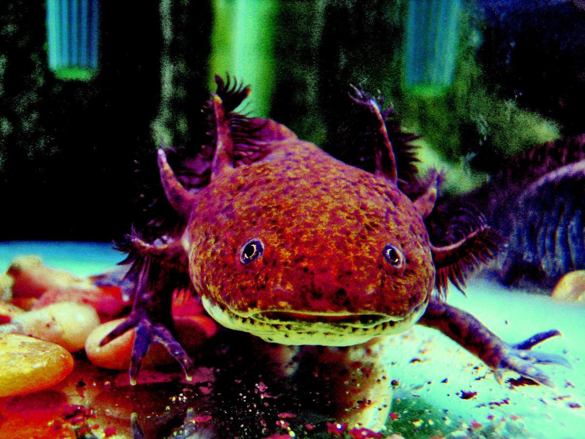 Axolotl, un cuento de Julio Cortázar